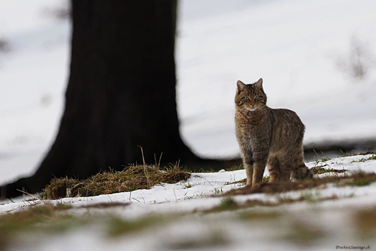 Chat sauvage / Faune Suisse