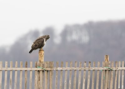 Buse variable / Faune suisse